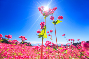 花咲く赤そば畑の花のアップと太陽の光芒の写真素材 [FYI01512271]