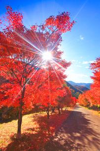 紅葉のモミジの並木と道路と木もれ日の光芒の写真素材 [FYI01512291]