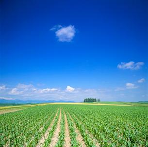トウモロコシ畑と木立の写真素材 [FYI01512341]