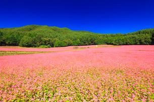 花咲く赤そば畑の写真素材 [FYI01512347]