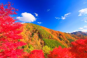 紅葉のモミジの林と萱野高原方向の山並みの写真素材 [FYI01512349]