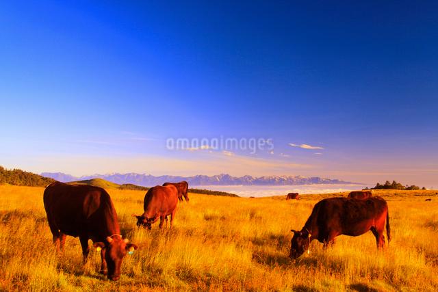 朝日を浴びる黒毛和牛と白馬岳など北アルプスの山並みの写真素材 [FYI01512350]