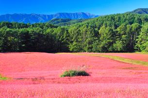 花咲く赤そば畑とススキと木曽駒ヶ岳の写真素材 [FYI01512358]