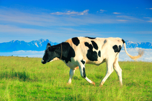 ホルスタインの牛歩と鹿島槍ヶ岳など北アルプスの山並みの写真素材 [FYI01512457]