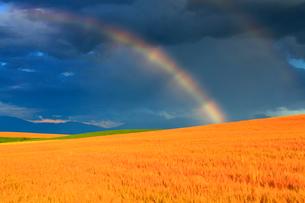 小麦畑の丘と虹,夕景の写真素材 [FYI01512491]