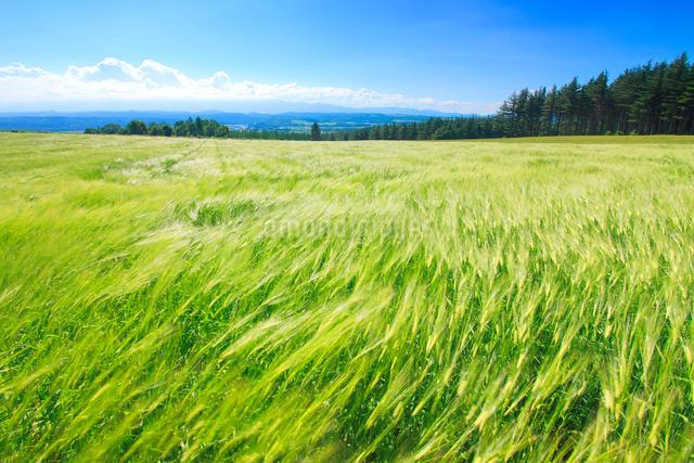風渡るビール麦畑の写真素材 [FYI01512536]
