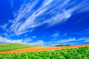 花咲くジャガイモ畑と赤麦畑(タクネ)と木立とすじ雲の写真素材 [FYI01512545]