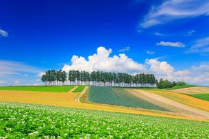 花咲くジャガイモ畑と赤麦畑(タクネ)と木立の写真素材 [FYI01512554]