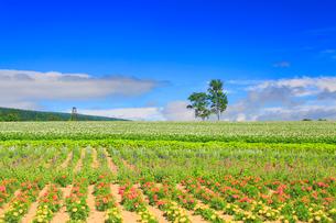 ジャガイモとマリーゴールドなどの花畑と白樺の木立の写真素材 [FYI01512583]