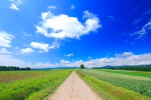 花咲くジャガイモ畑と道路と木立とわた雲の写真素材 [FYI01512586]
