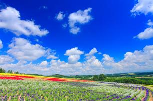 ブルーサルビアとマリーゴールドなどの花畑の写真素材 [FYI01512601]