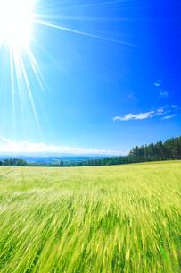 風渡るビール麦畑と太陽の光芒の写真素材 [FYI01512626]