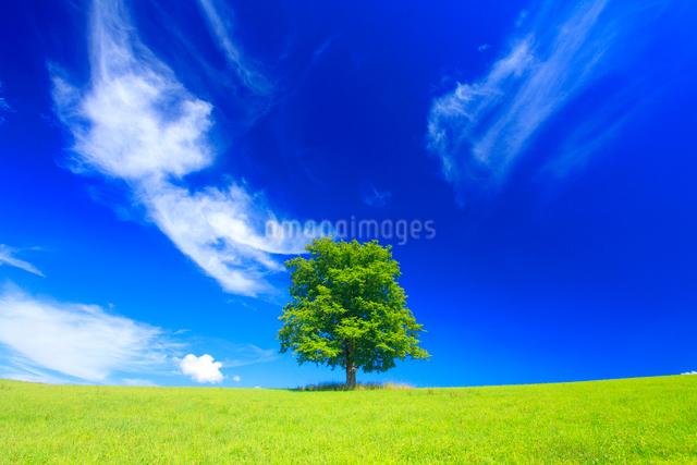牧草地とはるにれの木立の丘とすじ雲の写真素材 [FYI01512669]