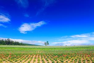 ジャガイモとマリーゴールドなどの花畑と白樺の木立の写真素材 [FYI01512675]