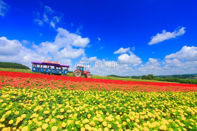 マリーゴールドなどの花畑とトラクターバスの写真素材 [FYI01512700]