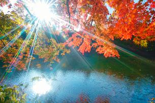 モミジの紅葉と木もれ日の輝く雲場池の写真素材 [FYI01512865]