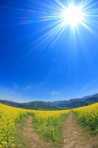 菜の花畑と分かれ道と毛無山と城蔵山と太陽の光芒,魚眼レンズの写真素材 [FYI01512895]