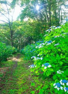 あじさい小道のガクアジサイと遊歩道と朝の木もれ日の写真素材 [FYI01512906]