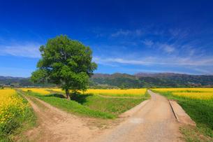 菜の花畑と城蔵山と分かれ道の写真素材 [FYI01512986]