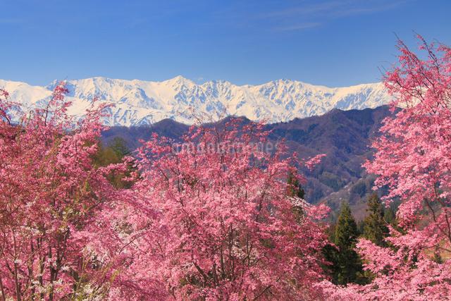 ベニシダレと残雪の白馬岳の写真素材 [FYI01513010]