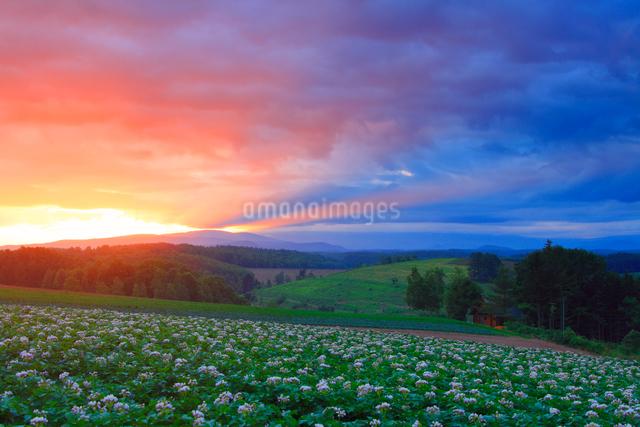 花咲くジャガイモ畑と朝焼けの光芒の写真素材 [FYI01513082]
