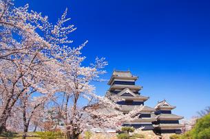 ソメイヨシノと松本城の写真素材 [FYI01513090]