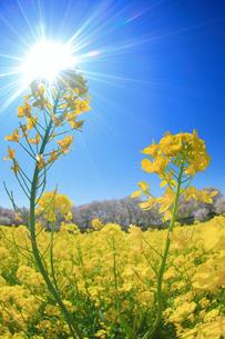 ソメイヨシノと菜の花畑と太陽の光芒の写真素材 [FYI01513097]