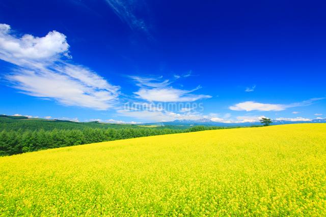 菜の花畑と大雪山と木立の写真素材 [FYI01513110]