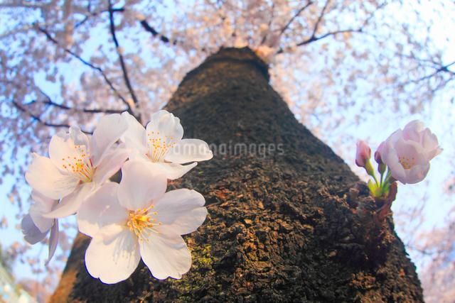 ソメイヨシノのアップの写真素材 [FYI01513127]