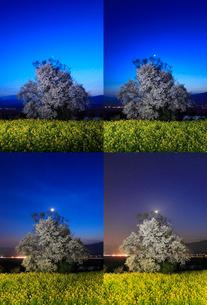 暮れ行く菜の花畑と桜のライトアップと三日月の写真素材 [FYI01513226]