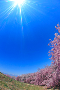 ベニシダレなどの桜並木と太陽の光芒と常念岳遠望の写真素材 [FYI01513294]