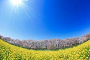 ソメイヨシノと菜の花畑と太陽の光芒,魚眼レンズの写真素材 [FYI01513302]