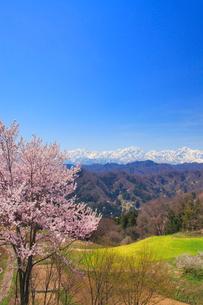 山桜と菜の花畑と爺ヶ岳と鹿島槍ヶ岳と五龍岳の写真素材 [FYI01513318]