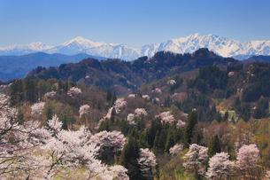山桜と蓮華岳と爺ヶ岳の写真素材 [FYI01513338]