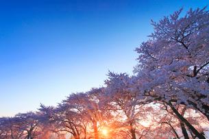ソメイヨシノの桜並木と朝日の木もれ日の写真素材 [FYI01513392]