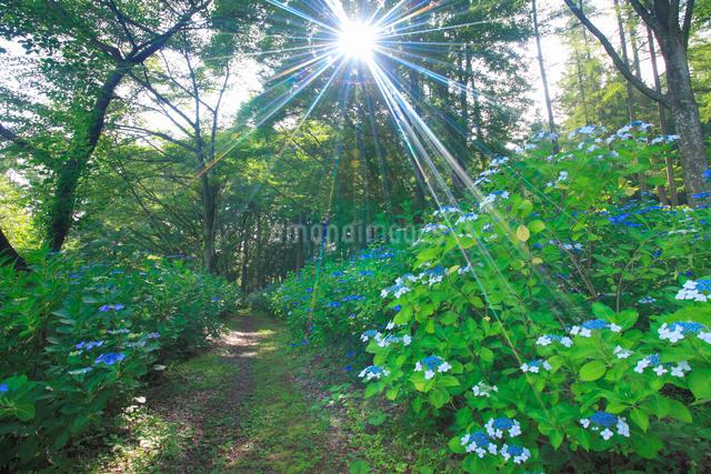 あじさい小道のガクアジサイと遊歩道と朝の木もれ日の写真素材 [FYI01513393]