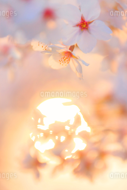 桜のアップと朝日の木もれ日の写真素材 [FYI01513499]