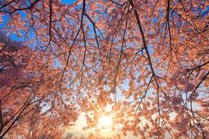 ソメイヨシノと朝日の木もれ日の写真素材 [FYI01513537]