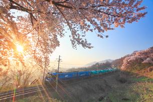 ソメイヨシノと朝日の木もれ日と篠ノ井線の貨物列車の写真素材 [FYI01513601]