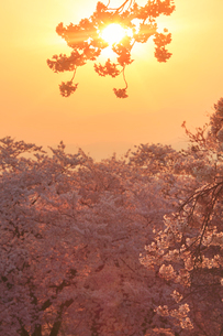 ソメイヨシノと朝日の木もれ日の写真素材 [FYI01513633]