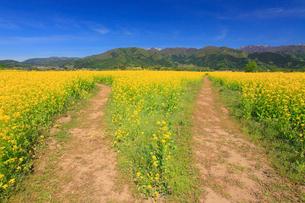 菜の花畑と分かれ道と毛無山と城蔵山の写真素材 [FYI01513751]