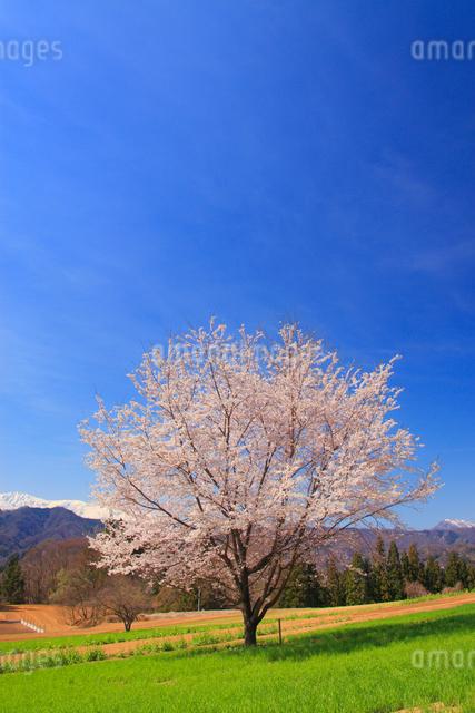桜の一本木と小麦畑の写真素材 [FYI01513772]