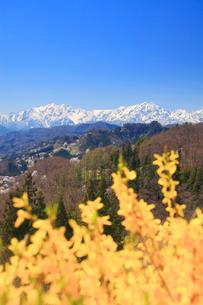 レンギョウと山桜と爺ヶ岳と鹿島槍ヶ岳の写真素材 [FYI01513796]