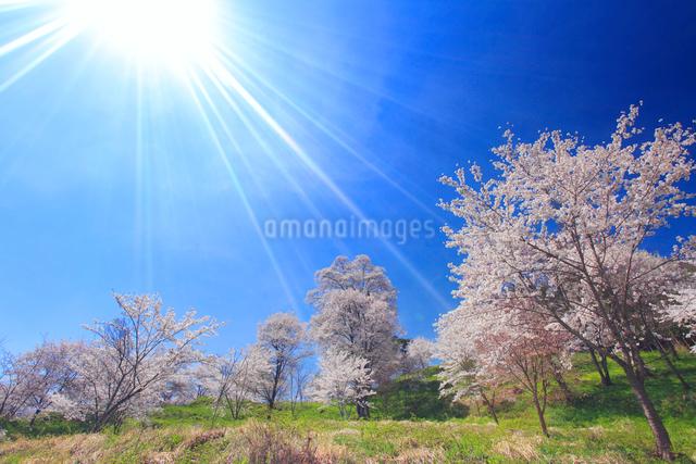 ソメイヨシノとエドヒガンなどの桜と太陽の光芒の写真素材 [FYI01513881]