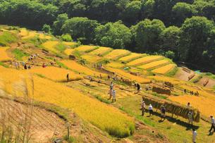 信州稲倉の棚田と稲刈り作業と案山子の写真素材 [FYI01513915]