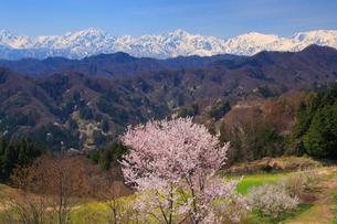 山桜と鹿島槍ヶ岳と五龍岳と唐松岳の写真素材 [FYI01513921]
