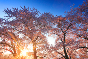 ソメイヨシノと朝日の木もれ日の写真素材 [FYI01513952]
