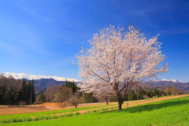 桜の一本木と小麦畑と残雪の白馬岳の写真素材 [FYI01514024]