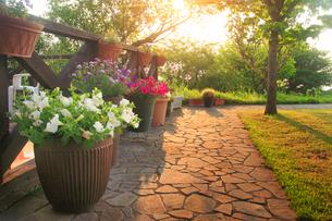 ペチュニアなどの花壇と朝日の木もれ日の写真素材 [FYI01514048]