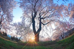 シダレザクラと朝日の木もれ日,魚眼レンズの写真素材 [FYI01514119]